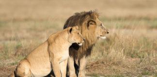 lions manes